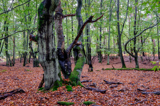 Der Darßer Urwald, Nationalpark Vorpommersche Boddenlandschaft, Deutschland