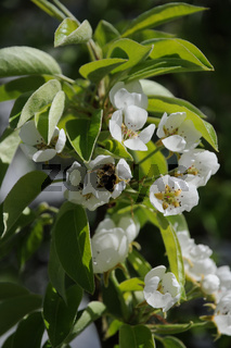Pyrus communis, Birne, Pear