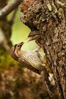 Wendehals mit Ameisenbrut am Nest