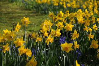 Narcissus pseudonarcissus, Trompetennarzisse, Daffodil