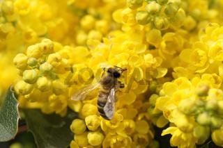 Mahonia aquifolium, Mahonie, Oregon grape