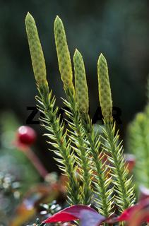 Sprossender Baerlapp hat eine ethnobotanische Bedeutung durch die Nutzung als Heilpflanze - (Wald-Baerlapp  -  Schlangen-Baerlapp) / Stiff Clubmoss each branch containing a cone at the top - (Bristly club-Moss) / Lycopodium annotinum
