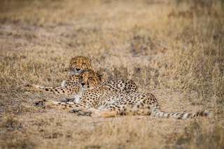 Two Cheetahs laying in the Selati Game Reserve