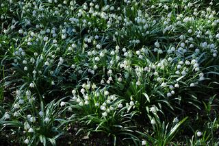 Leucojum vernum, Märzenbecher, Snowflake