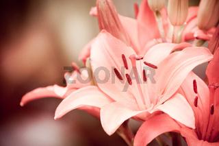 Flowering Lilium vintage Lily