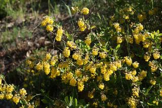 Berberis vulgaris, Berberitze, Barberry
