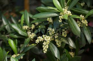 blühender Olivenbaum