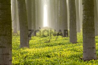 trunks  trees in the fog