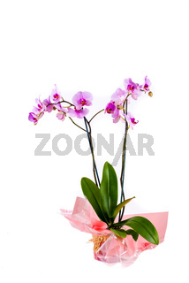 Pink orchid in pot on white background
