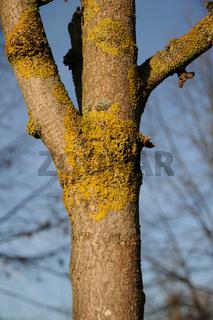 Xanthoria parietina, Gewöhnliche Gelbflechte, Common orange lichen, Ginkgo