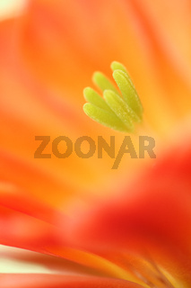 Kaktusbluete (Echinopsis)