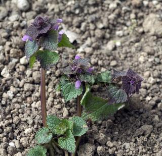 Purpurrote, Taubnessel, Lamium purpureum, Keimling