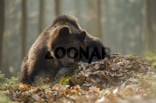 schachmatt... Europäischer Braunbär *Ursus arctos*