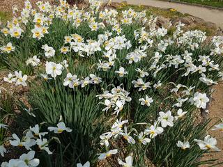 Dichternarzisse; Narcissus, Poeticus