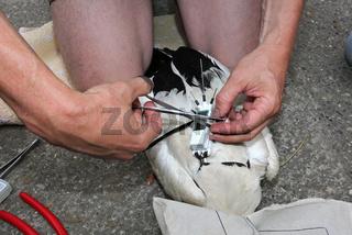 Storch Peilsender