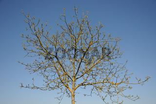 Juglans regia, Walnuss, Walnut, Austrieb, Blüten, young shoots, flowers