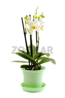white orchid on isolated background