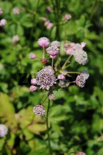 Astrantia maxima, Größte Sterndolde