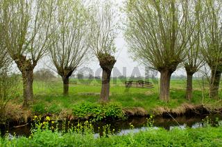 Pollard willows in landscape