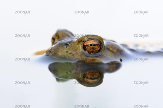 Krötenaugen... Erdkröte *Bufo bufo*