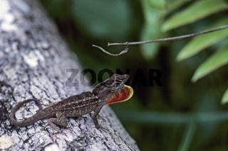 Bahamaanolis die Maennchen haben einen deutlich sichtbaren Kehlsack der zum Beispiel als Drohgebaerde eingesetzt wird - (Bahama-Anolis) / Brown Anole male displaying dewlap - (Bahaman Anole  -  De la Sagras Anole) / Norops sagrei - (Anolis sagrei)