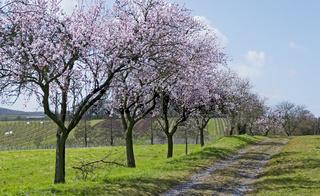 Blühende Mandelbäume (Prunus dulcis)