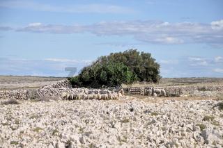 Schafe auf Pag, Kroatien