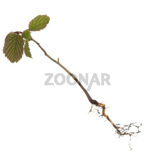 Nussbaumsproessling, Nussbaum; Hasel, Corylus; avellana