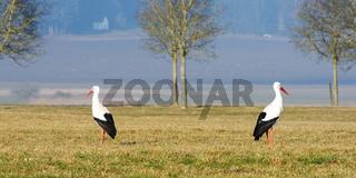 Weißstorchpaar auf Beuteausschau