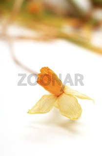 Dried yellow jonquil