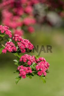 Flowers pink hawthorn. Tree pink hawthorn