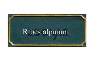 schild wilde johannisbeere,alpenjohannisbeere, ribes alpinum, einheimisches gewaechs