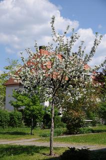 Malus domestica, Apfel, Apple