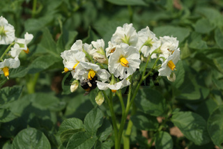 Solanum tuberosum, Kartoffel, Potato