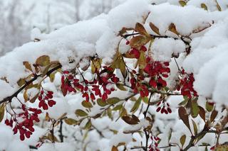 Rote Beeren der Berberitze unter dem flauschigen S