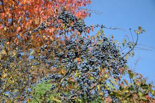 Prunus spinosa, Schlehe, Blackthorn