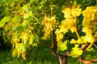 White grapes on a bush in the summer outdoors