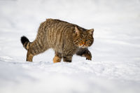 European wildcat wading through the snow of winter countryside