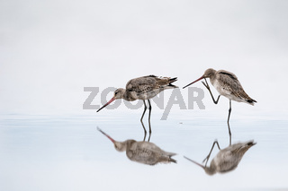 lively black tailed godwit closeup