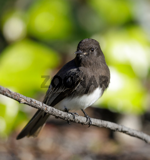 Black Phoebe (white-winged), Adult.