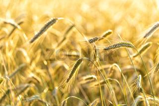 Getreide auf einem Feld in Europa