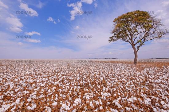 Tree in the middle of a cotton field in Campo Verde, Mato Grosso, Brazil