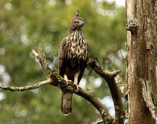 Crested Hawk Eagle, Nisaetus cirrhatus, Bandipur National Park, Karnataka, India.