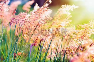 Sunset at field flower grass