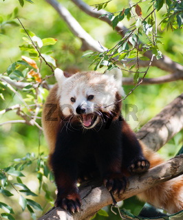 Red Panda Rests on Branch in between feedings