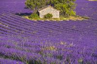 Steinhütte umgeben von einem Lavendelfeld in der Nähe von Sault