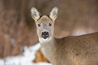 Female of roe deer with fluffy winter coat and open mouth