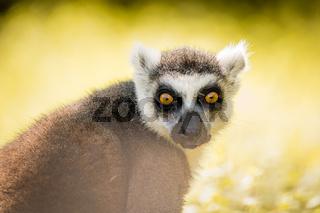 Single Lemur staring directly at camera, soft background