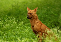 Indian wild dog or Dhole, Cuon alpinus, Nagarhole National park Karnataka, India