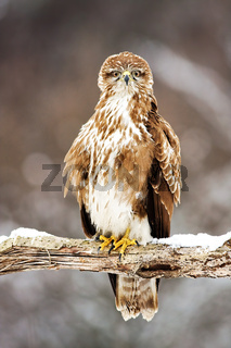 Perched wild common buzzard sitting on a branch covered with snow in winter